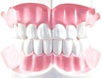 Teeth dental model. Royalty Free Stock Photos