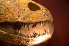 Teeth of dinosaur Royalty Free Stock Image