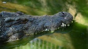 Teeth and face of crocodile in a river. Crocodile or alligator in a river of a natural park or zoo stock video footage