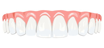 Teeth gums. The top row of white teeth Stock Photo