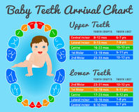 Teeth infographic vector Royalty Free Stock Photo