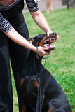 Teeth inspection. On a dog show Stock Photo