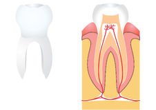 Teeth for medicine. Teeth on white for medicine Royalty Free Stock Photography