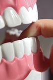 Teeth model Stock Photo