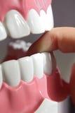 Teeth model. Plastic model of teeth -  background on dental theme Stock Photo