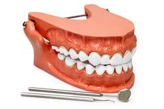Teeth model Royalty Free Stock Photo