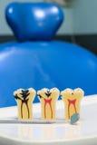 Teeth model Stock Image