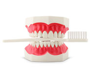 Teeth model with toothbrush Royalty Free Stock Images