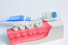 Teeth model and toothbrush Royalty Free Stock Photography