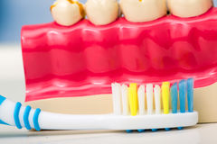 Teeth model and toothbrush Royalty Free Stock Photo
