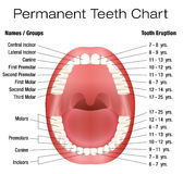 Teeth Names Permanent Adult Dentition Notation. Teeth names and permanent teeth eruption chart with accurate notation of the different teeth, groups and the year Royalty Free Stock Images