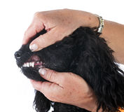 Teeth of poodle Royalty Free Stock Image