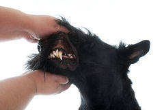 Teeth of scottish terrier Royalty Free Stock Photography