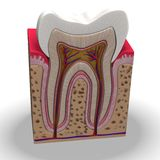 Teeth section Stock Image