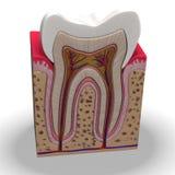 Teeth section stock image
