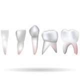 Teeth set Royalty Free Stock Image