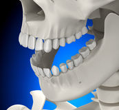 Teeth Skull Male Anatomy on blue background - 3D illustration Royalty Free Stock Images