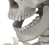 Teeth Skull Male Anatomy isolated on white - 3D illustration Stock Photo