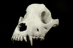 Skull of a dog without lower jaw on black surface top view. Teeth of upper jaw of the dogs skull on black backgroundn Stock Image