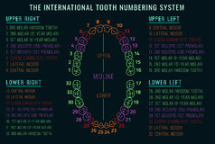 Teeth vector Infographic Stock Photography