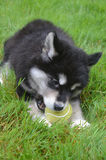 Teething Alusky Puppy Laying in Grass Chewing on a Ball. Alusky puppy dog chewing on a ball while laying in grass Stock Images