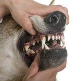 Teeths Czechoslovakian do cão do lobo Imagem de Stock