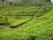 Tefält i Sri Lanka Fotografering för Bildbyråer