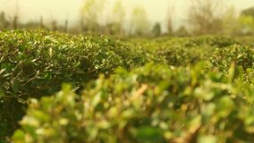 Tefält och tebuskar och träd arkivfilmer