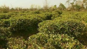 Tefält och tebuskar och träd stock video
