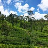 Tefält på Sri Lanka royaltyfri foto