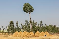 Teff που καλλιεργεί στην αγροτική Αιθιοπία, γεωργική γη στοκ φωτογραφία με δικαίωμα ελεύθερης χρήσης