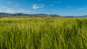 Teff field Stock Photos