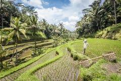 Tegalalang在Ubud,巴厘岛附近的米大阳台 库存照片