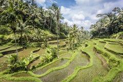 Tegalalang在Ubud,巴厘岛附近的米大阳台 图库摄影