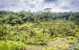 Tegalalang在Ubud,巴厘岛附近的米大阳台 免版税库存图片