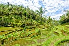 Tegalalang-Reis-Terrassen, Bali 4 Lizenzfreie Stockfotografie