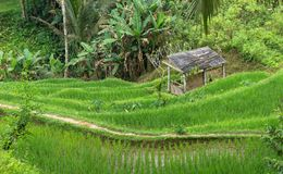 Tegalalang rice fields. In Tegalalang, Bali, Indonesia stock images