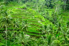 Tegalalang Rice taras w Ubud, Bali, Indonezja Obraz Stock