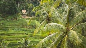 Tegalalang Rice tarasu pola Wokoło i niektóre drzewka palmowe, Ubud, Bali, Indonezja Zdjęcie Royalty Free
