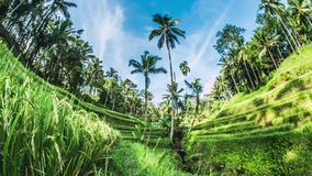 Tegalalang Rice Terrace Bali Timelapse 4k. Timelapse of some beautiful rice fields on Bali, Indonesia stock video footage
