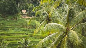 Tegalalang Rice Terrace Fields and some Palm Trees Around, Ubud, Bali, Indonesia.  Royalty Free Stock Photo