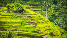 Tegalalang Rice Terrace Fields and some Palm Trees Around, Ubud, Bali, Indonesia.  Stock Image