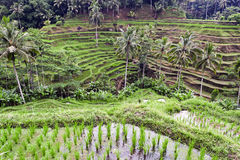 Tegalalang Rice Terrace, Ubud, Bali Stock Images