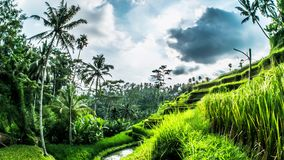 Tegalalang Rice Terraces Bali Timelapse 4k. Timelapse of some beautiful rice fields on Bali, Indonesia stock video