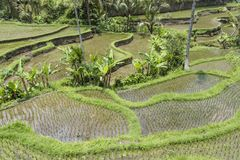 Tegalalang ryż tarasy blisko Ubud, Bali zdjęcie stock