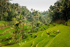 Tegalalang terraces Royalty Free Stock Images