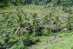 Tegallalang的美丽的稻大阳台领域种植园在午后期间 图库摄影