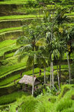 Tegallalang, Bali. Near the cultural village of Ubud is an area known as Tegallalang that boasts the most dramatic terraced rice fields in all of Bali Stock Photography