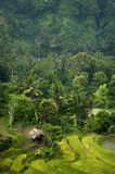 Tegallalang, Bali. Near the cultural village of Ubud is an area known as Tegallalang that boasts the most dramatic terraced rice fields in all of Bali Stock Images