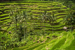 Tegallalang, Bali. Near the cultural village of Ubud is an area known as Tegallalang that boasts the most dramatic terraced rice fields in all of Bali Royalty Free Stock Photos